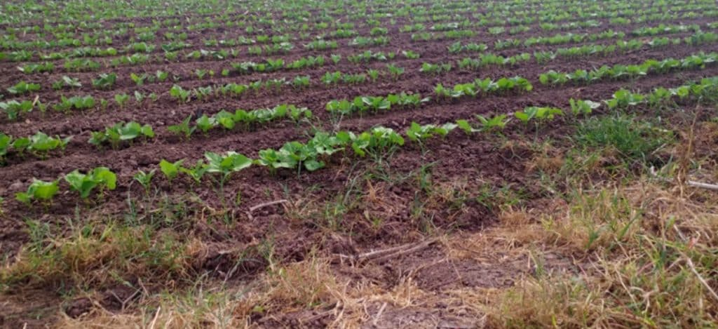 US Dry Bean Council Mexico Report Image